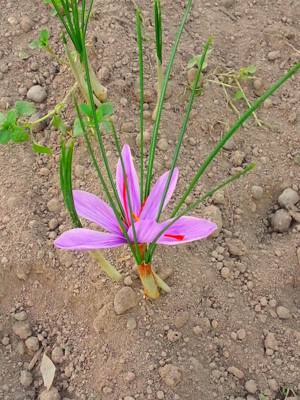 Zafferano fiore