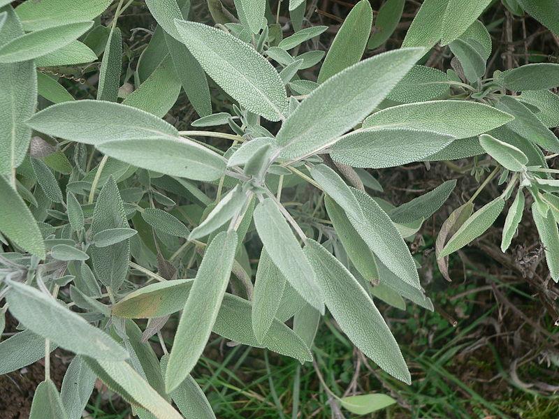 800px-Salvia_officinalis_p1150381