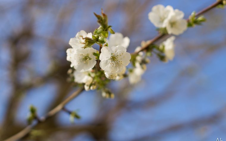 Primavera – ciliegio in fiore