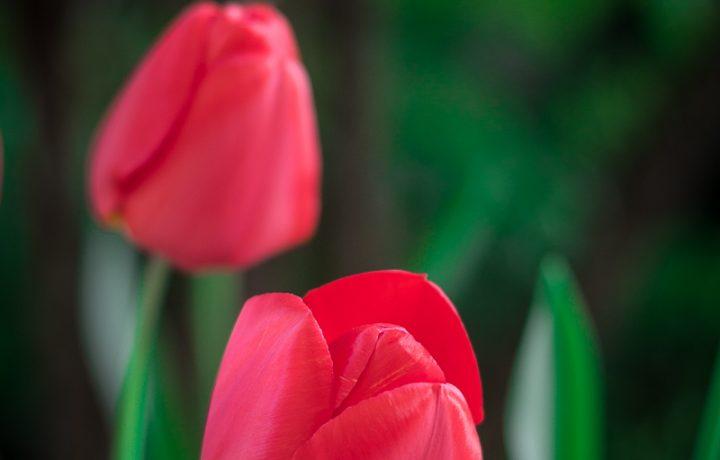 Tulip – fotografia