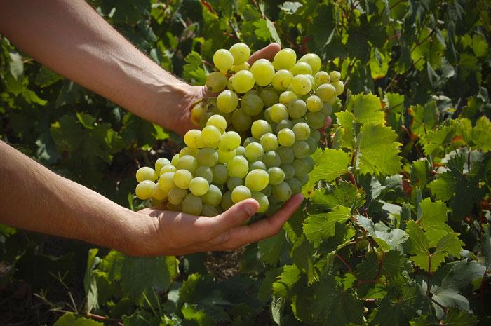 Un-grappolo-di-uva-Zibibbo1