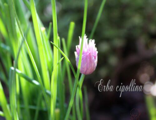 Erba cipollina. Erbe aromatiche, impariamo a riconoscerle