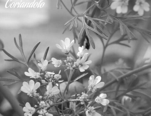 Il coriandolo. Erbe aromatiche, impariamo a riconoscerle