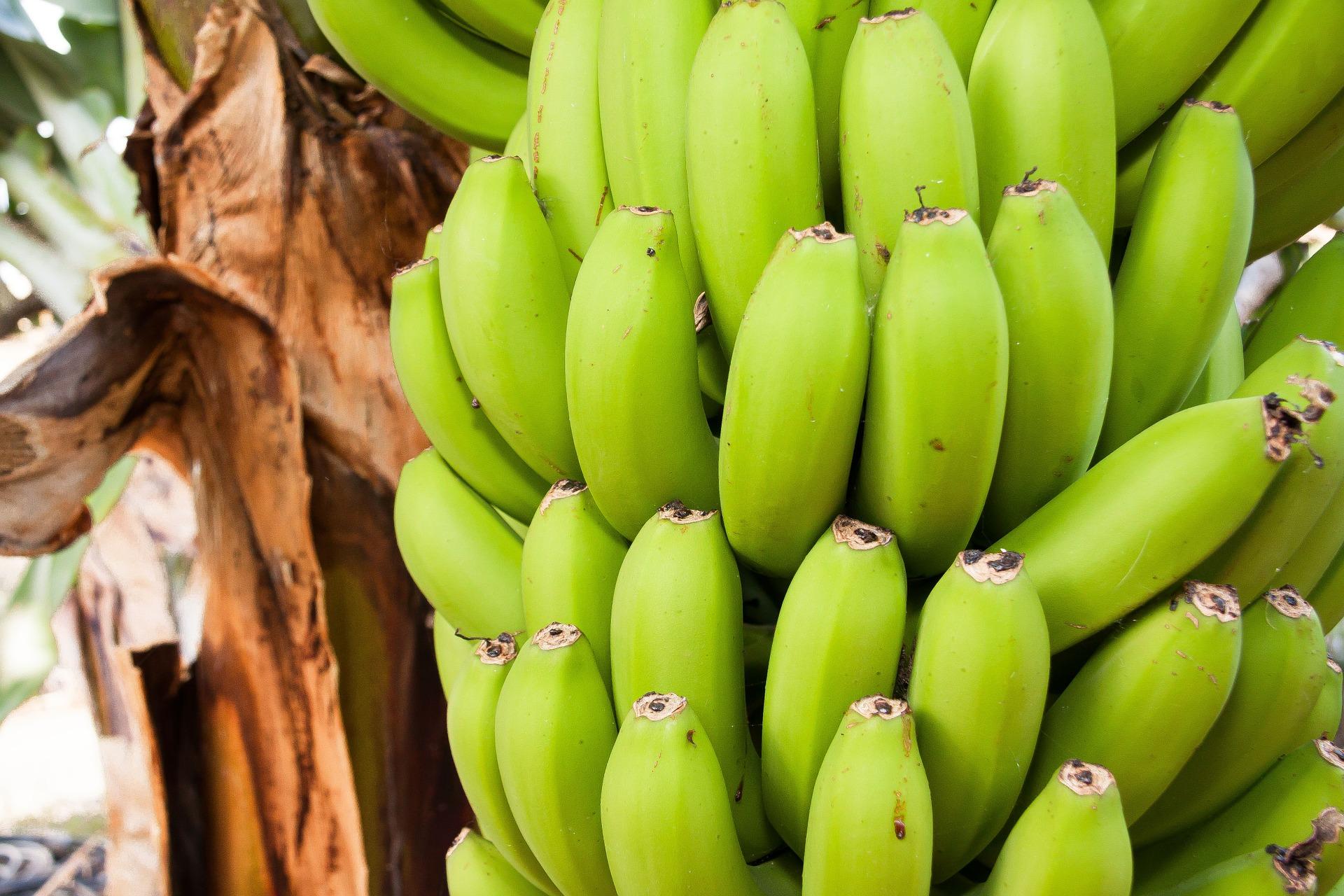 Pianta Di Banana Foto alla scoperta degli ingredienti: le banane