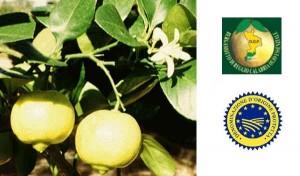 Bergamotto di Calabria D.O.P. - per la foto si ringrazia