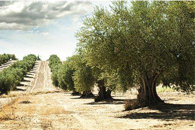 Olio extravergine d'oliva Terre di Bari – D.O.P.