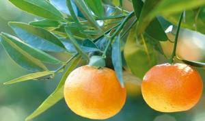 Clementine di Calabria I.G.P. - per la foto si ringrazia