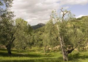 Olio extravergine d'oliva Seggiano D.O.P. - per la foto si rigrazia