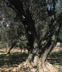 Olio extravergine d'oliva Tergeste D.O.P. - per la foto si ringrazia