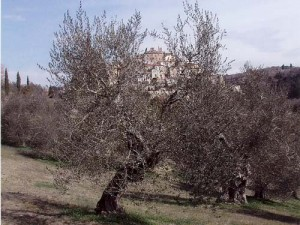 Olio extravergine di oliva Terre di Siena D.O.P. - per la foto si ringrazia