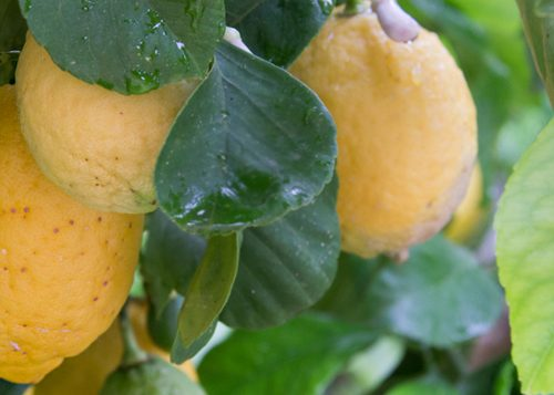 Limone femminello del Gargano – I.G.P.