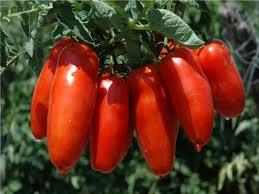 Pomodoro San Marzano dell'Agro Sarnese - Nocerino D.O.P. - per la foto si ringrazia
