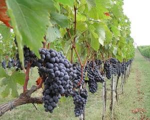 Torgiano Rosso Riserva D.O.C.G. (uva Sangiovese) - per al foto si ringrazia