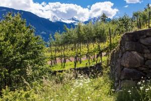 Vitigno superiore Valtellina D.O.C.G. - per la foto si ringrazia