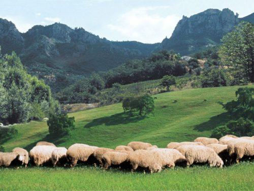 Agnello delle Dolomiti Lucane – P.A.T.