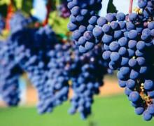 Focus Nebbiolo – Go Wine