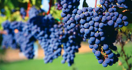 nebbiolo clusters