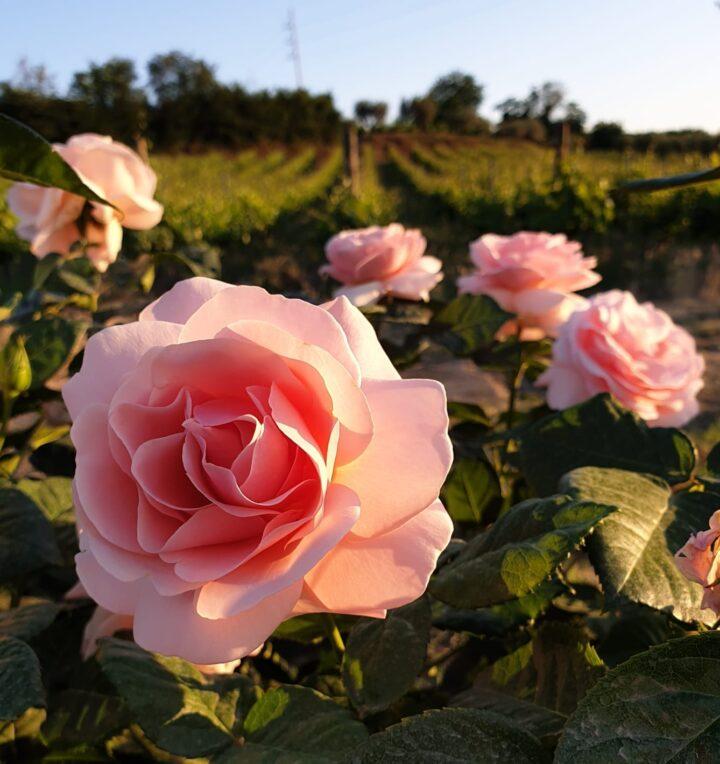 rose-vignaioli