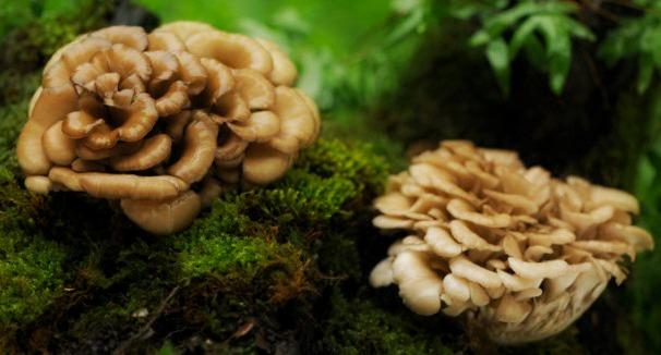 maitake-funghi
