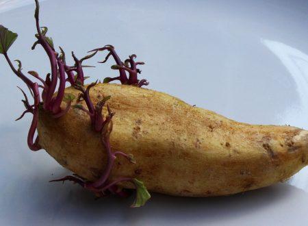 Ma le patate germogliate si possono mangiare?