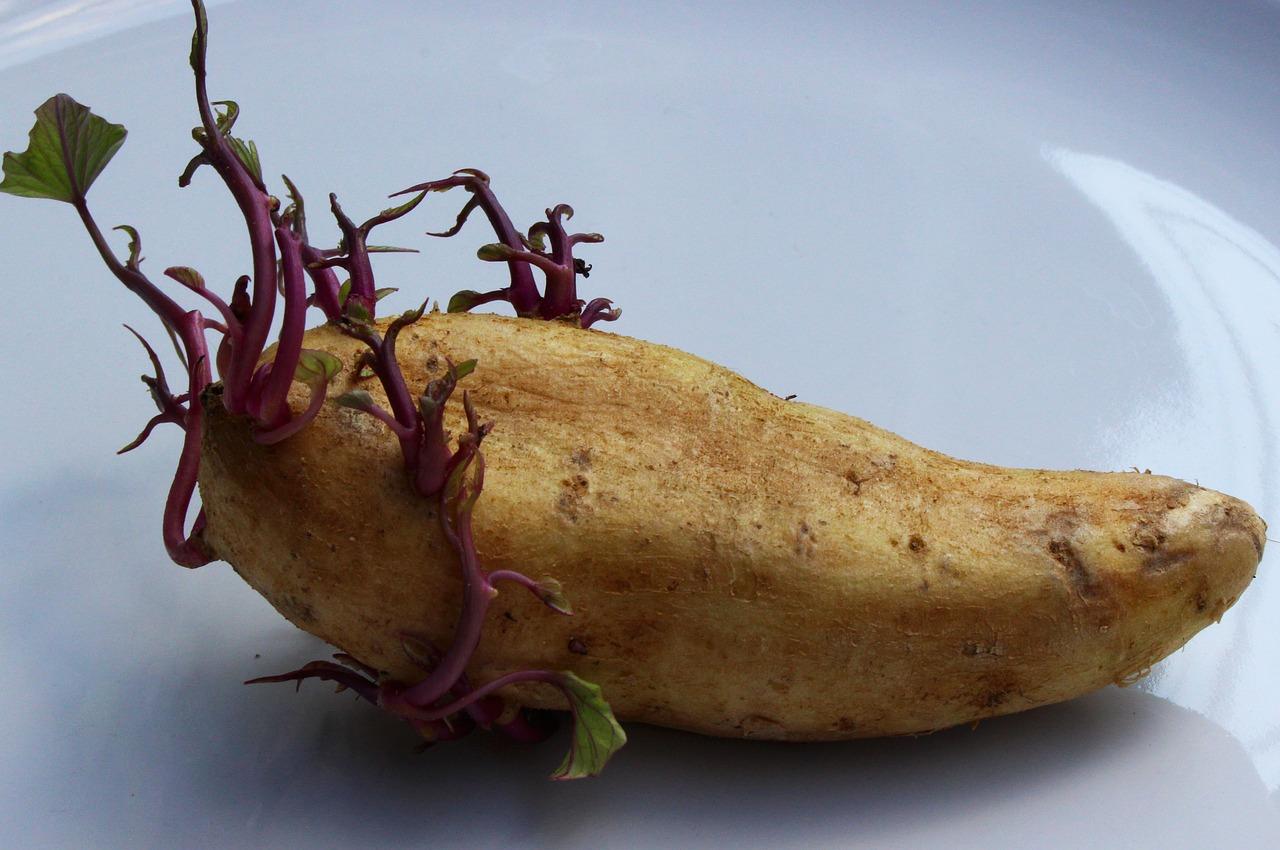 Ma le patate germogliate si possono mangiare cucina for Quando si seminano le patate