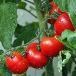 Metodi per congelare i pomodori e come usarli dopo lo scongelamento