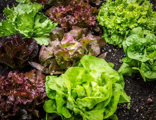 Come mantenere a lungo fresca l'insalata nel frigo