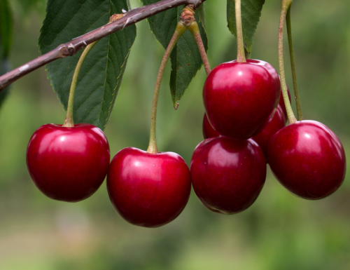 Le ciliegie, proprietà e virtù