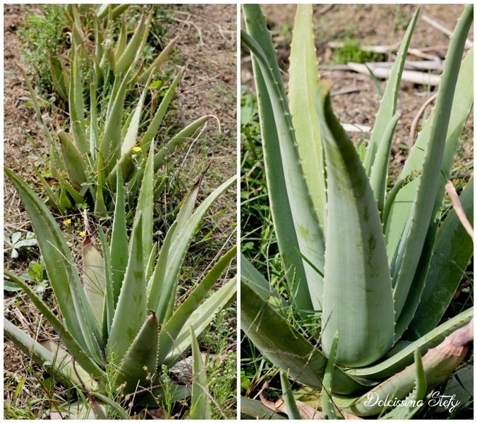 Alla scoperta del Cilento tra Templi, Olive e Aloe vera