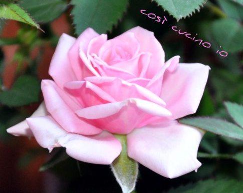 Una rosa per Sarabella…..al suo primo Bloganno!
