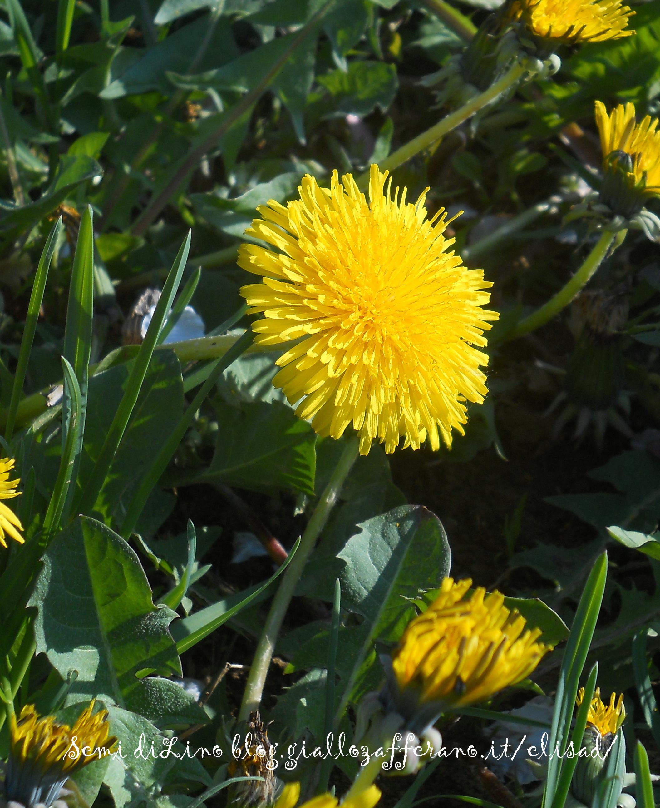 Tarassaco fiori di tarassaco semi di lino blog for Semi di fiori