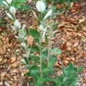 feijoa sellowiana giardinaggio fata antonella