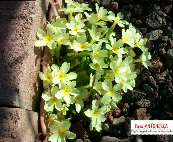 Finalmente primavera arrivano le primule fata antonella