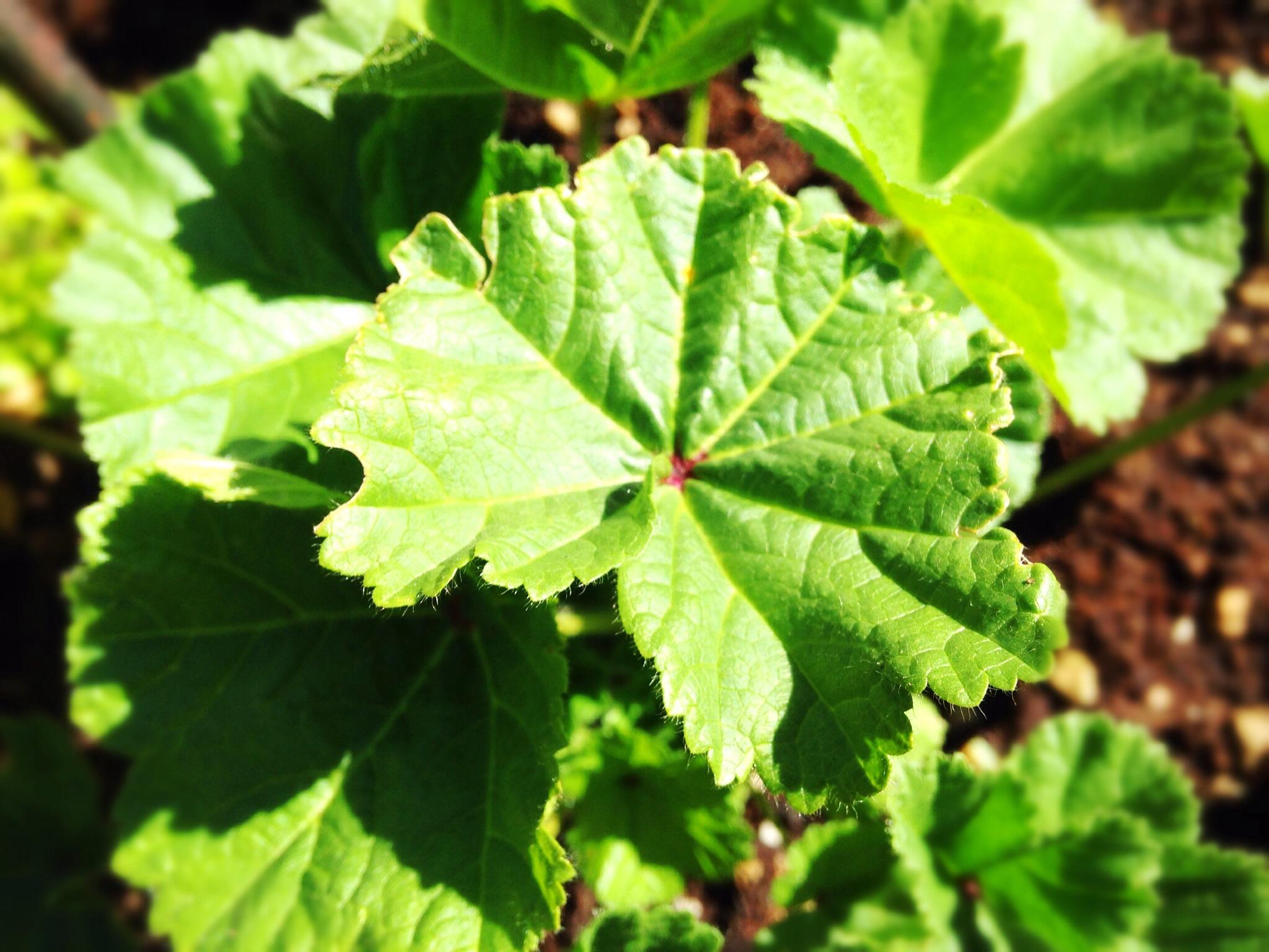 erbe spontanee commestibili erbe di campo camomilla tarassaco margherita pratolina