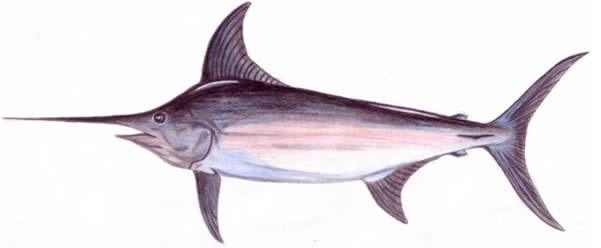 Involtini di pesce spada sapori caserecci di giovanni for Un pesce allevato in acque stagnanti