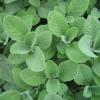 Erbe aromatiche: semina e raccolta