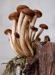 Come pulire e preparare i funghi chiodini