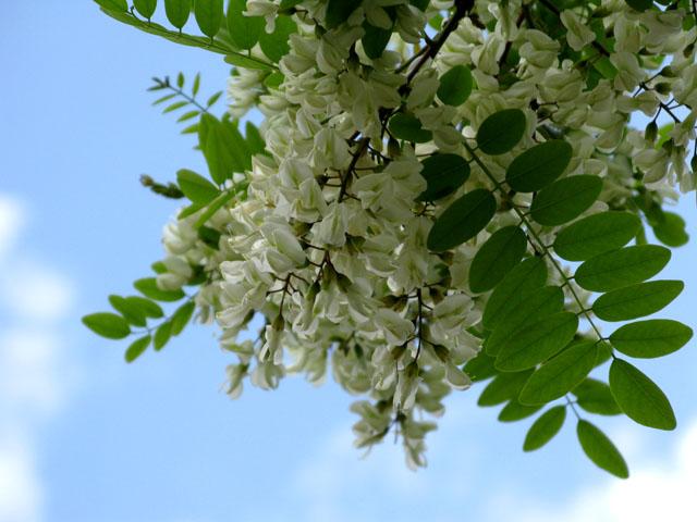 Fiori di acacia in cucina for Acacia albero