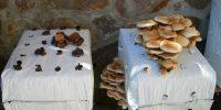 Coltivazione delle balle di funghi