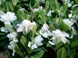 pianta gardenie