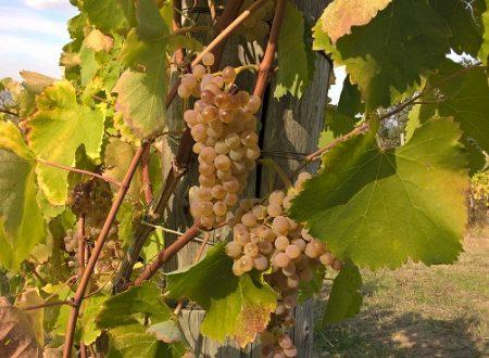 Il vino si fa anche con l'uva