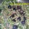 Scarole saltate in padella con capperi e olive