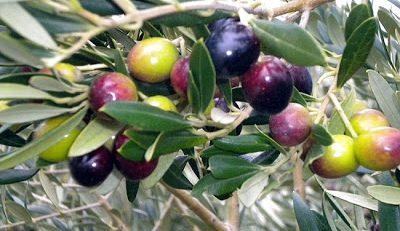 Conserva di olive nere in acqua e aceto