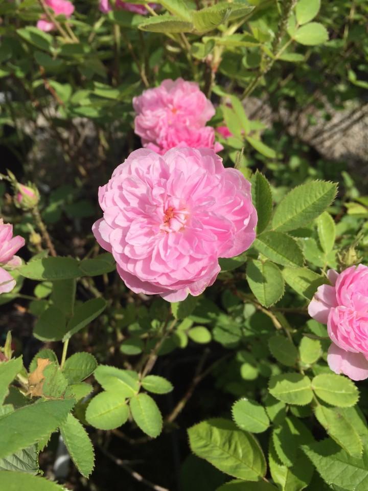 rosa centifoglia