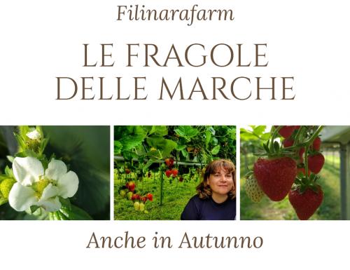 Filinarafarm- Le fragole delle Marche anche in autunno