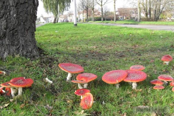 """passeggiata Nimega 11 novembre 2013, funghi """"Amanita Muscaria"""", diario di una dieta, Mangia senza Pancia"""