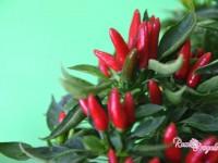 Il Peperoncino – come essiccarlo e conservarlo