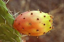 250px-Opuntia_ficus-indica_fruit9
