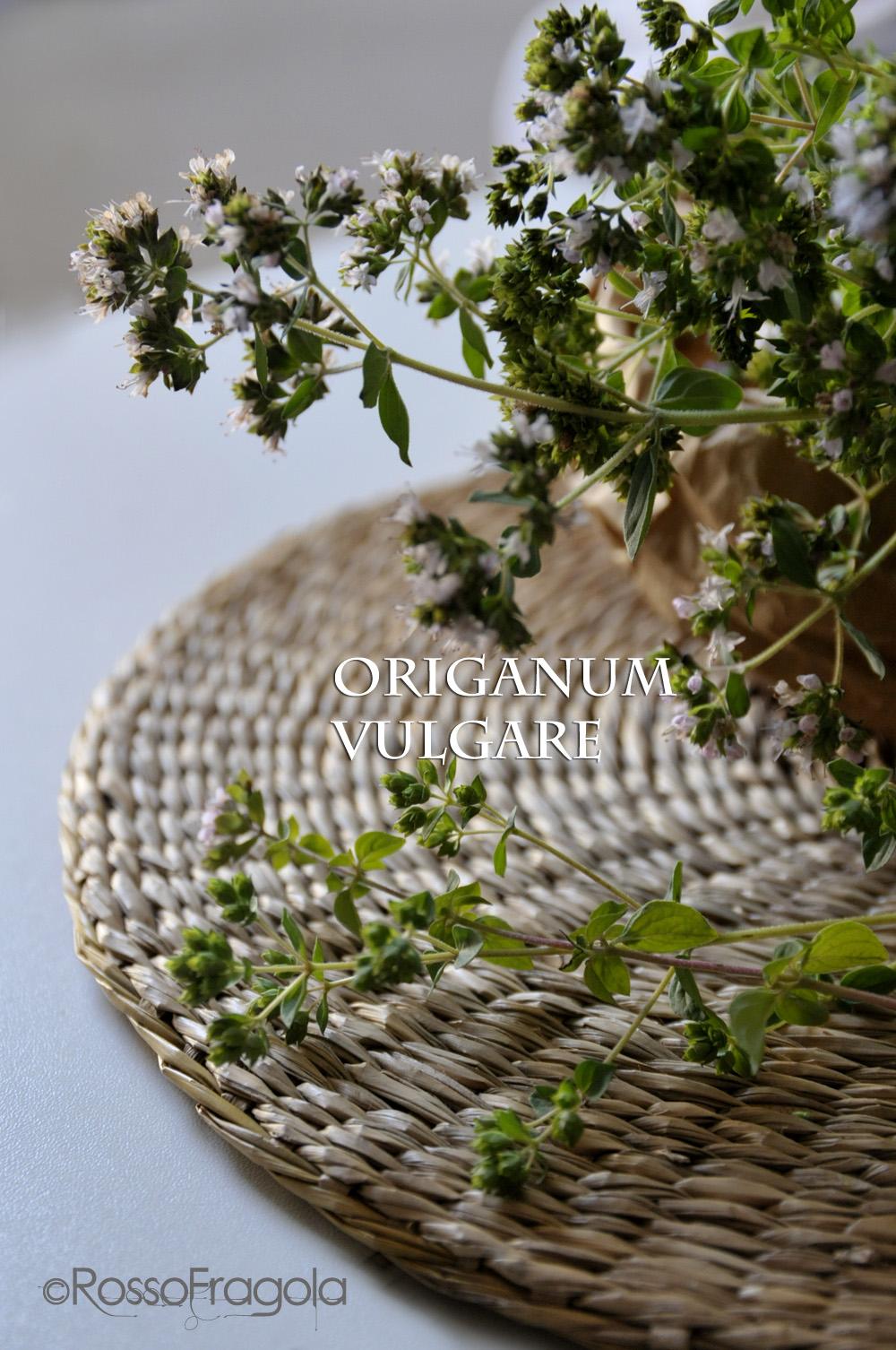 Origano - Origanum vulgare