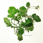 Verdure spontanee siciliane: caluceddi
